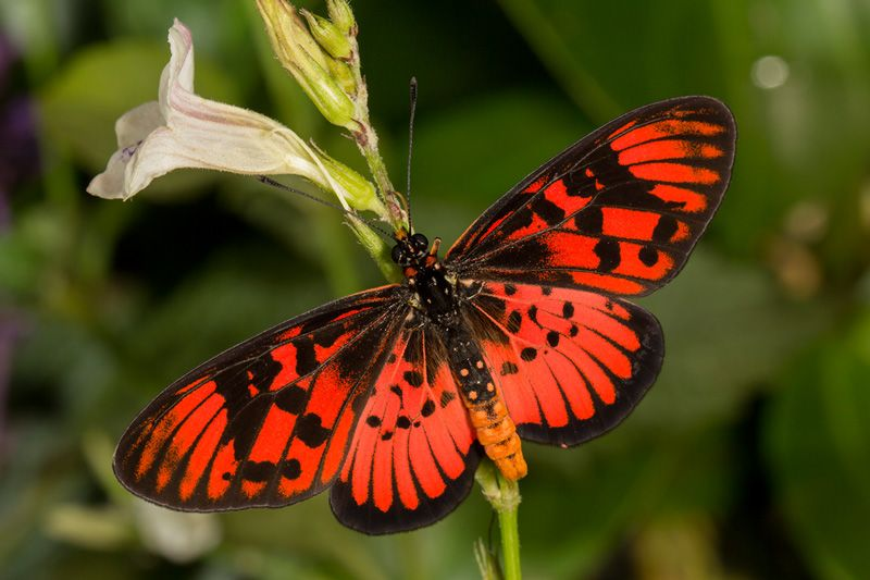 Blood-red Acraea butterfly, photo by Steve Woodhall