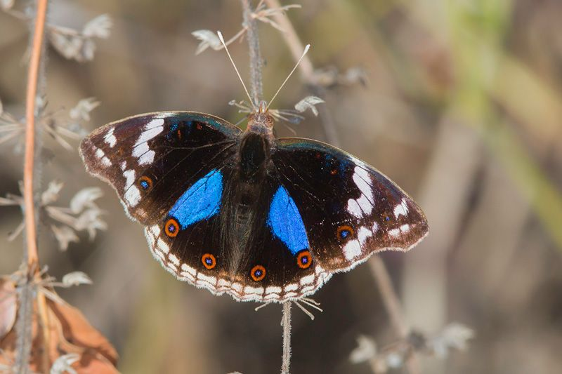 Blue Pansy butterfly, photo by Steve Woodhall