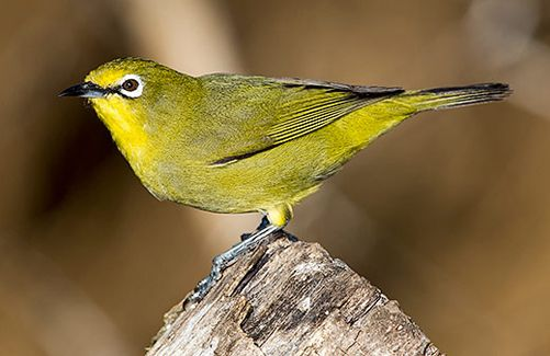 Cape White-eye, photo by Warwick Tarboton