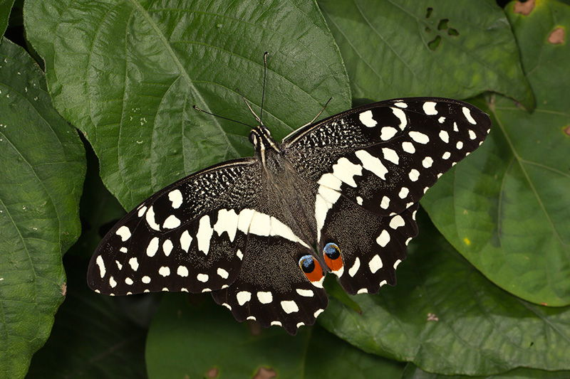 Citrus Swallowtail butterfly, photo by Steve Woodhall