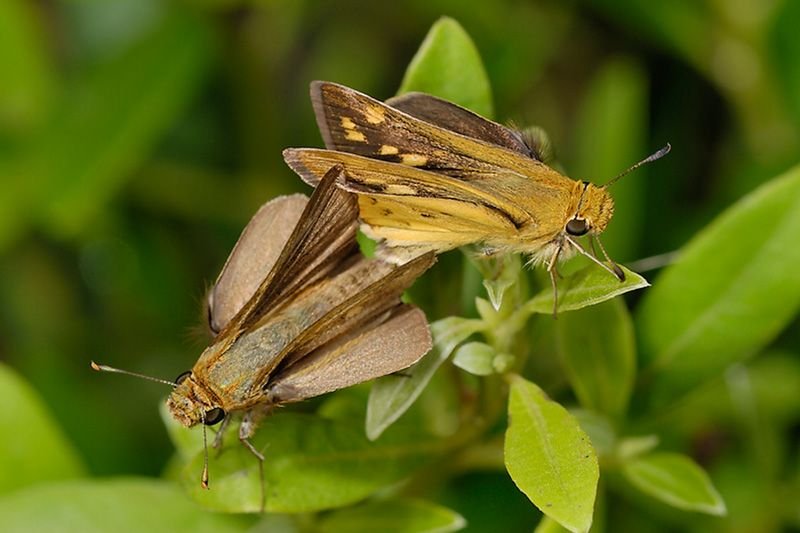 Common Hottentot Skipper, photo by Steve Woodhall