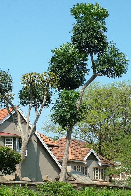 Forest Cabbage-tree
