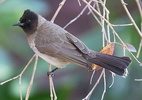 Toppie (Dark-capped Bulbul), photo by Warwick Tarboton