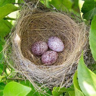 Toppie (Dark-capped Bulbul) nest, photo by Warwick Tarboton