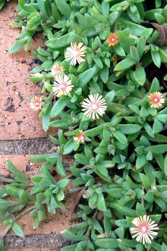 Delosperma rogersii, photo by Anno Torr