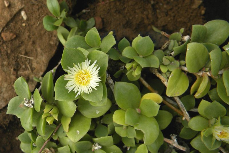 Delosperma tradescantioides, photo by Anno Torr