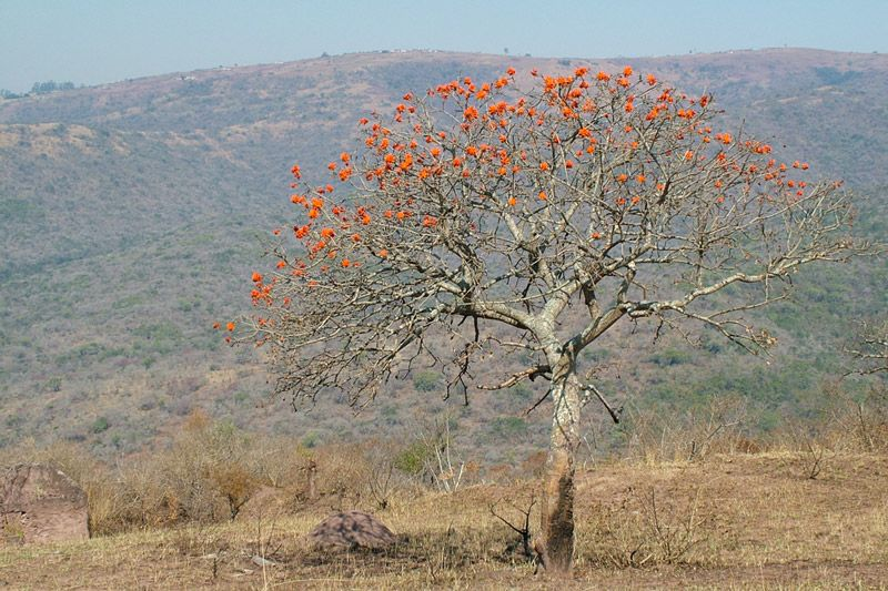 Coral tree in Shongweni, photo by Richard Boon.