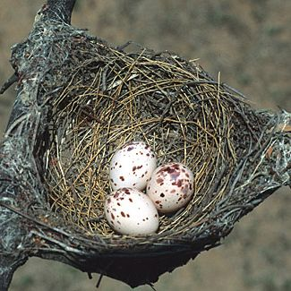 Fork-tailed Drongo nest, photo by Warwick Tarboton