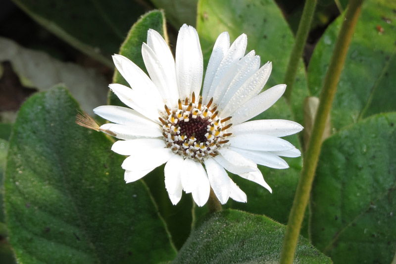 Gerbera ambigua, photo by Anno Torr