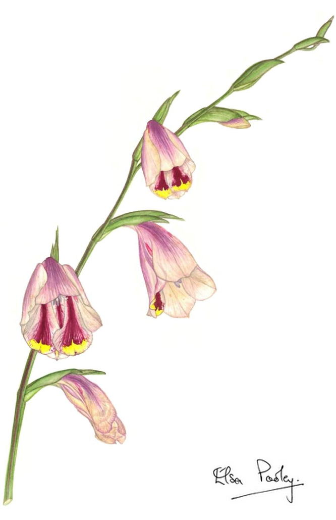 Gladiolis papilio, artwork by Elsa Pooley
