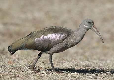 Hadeda Ibis, photo by Warwick Tarboton