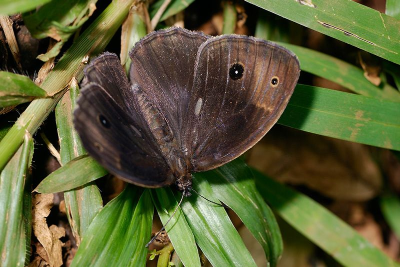 Common Bush Brown butterfly, photo by Steve Woodhall