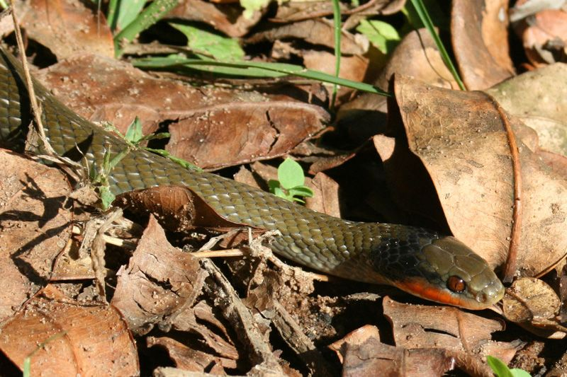 Herald snake, photo by Pat McKrill
