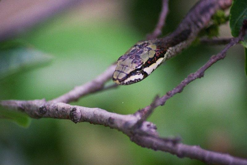 Vine Snake, photo by Pat McKrill