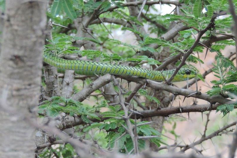 Male boomslang, photo by Pat McKrill