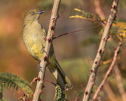 Sombre Greenbul, photo by Warwick Tarboton