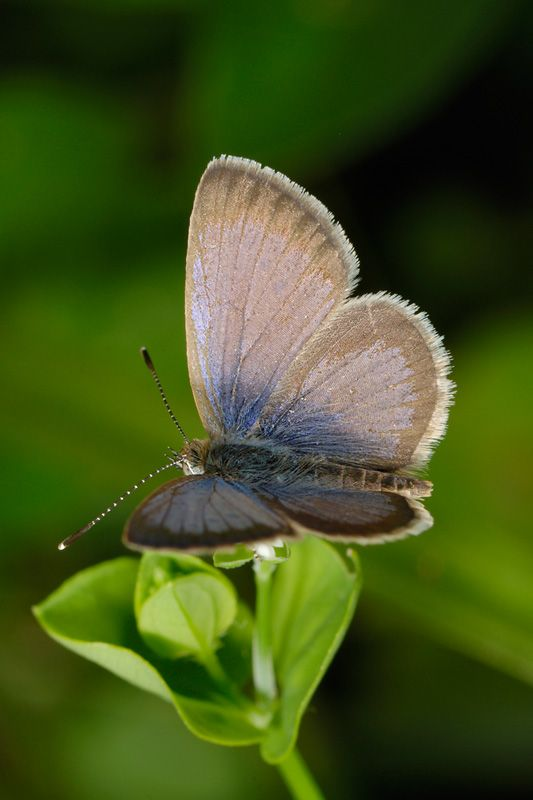 Sooty Blue butterfly, photo by Steve Woodhall