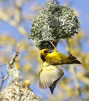 Village Weaver, photo by Warwick Tarboton