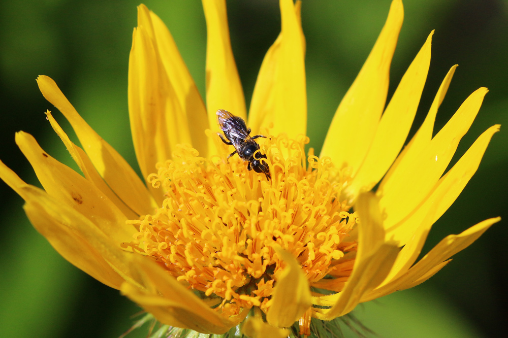 Wasp on Berkheya speciosa, photo by Lyle Ground
