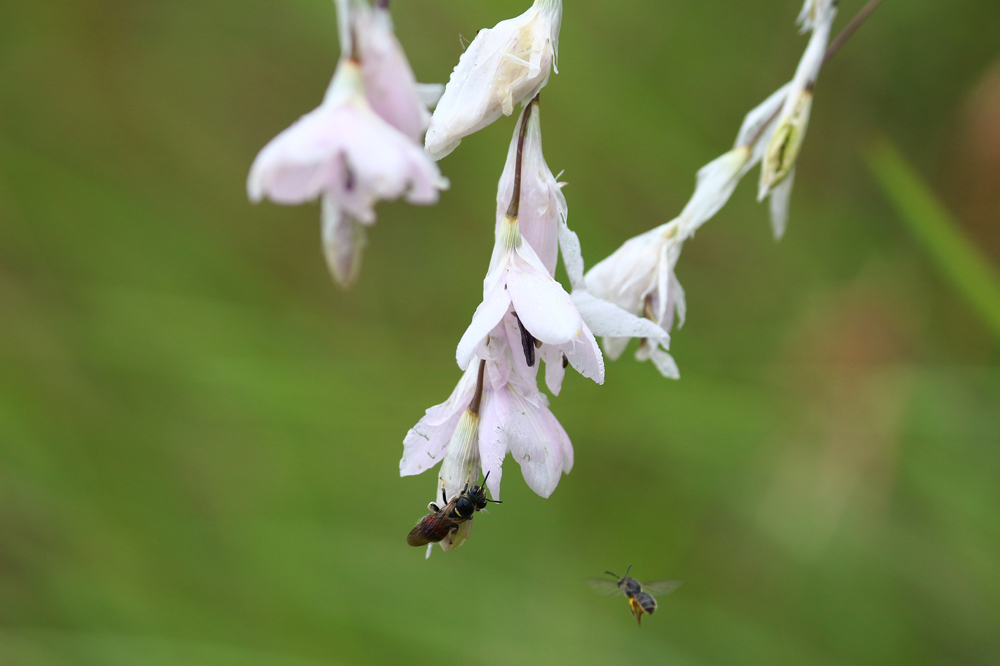 Wasps visiting Dierama argyreum, photo by Lyle Ground