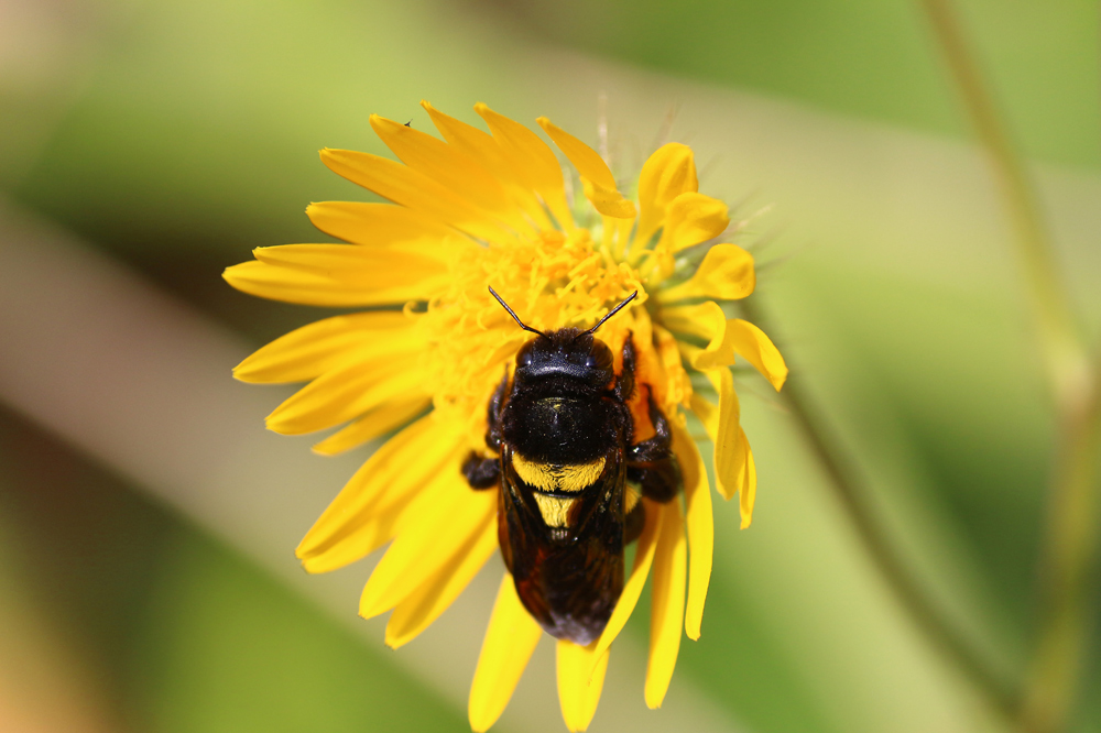 Carpenter Bee visiting Berkheya speciosa, photo by Lyle Ground