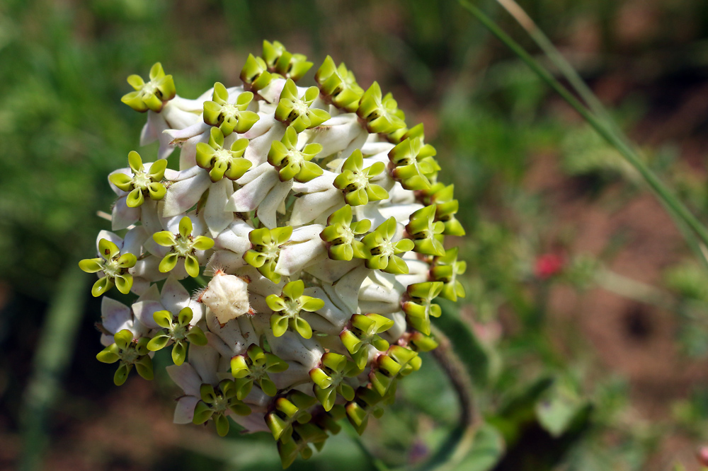 Asclepias albens, photo by Lyle Ground