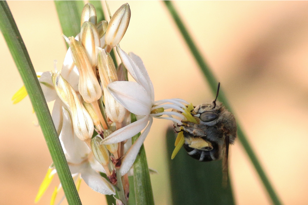 Carpenter Bee on Chlorophytum saundersiae, photo by Lyle Ground