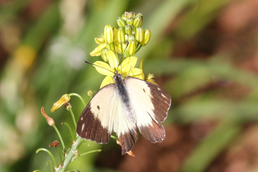 Common White on Bulbine natalensis, photo by Lyle Ground
