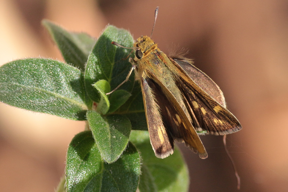 Hottentot Skipper on Barleria obtusa, photo by Lyle Ground