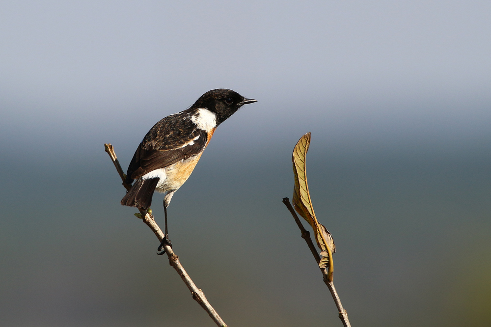 African Stonechat, photo by Lyle Ground